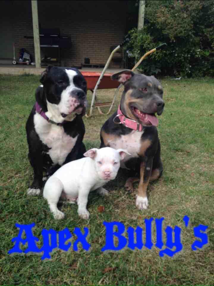 Apex Bully Kennel