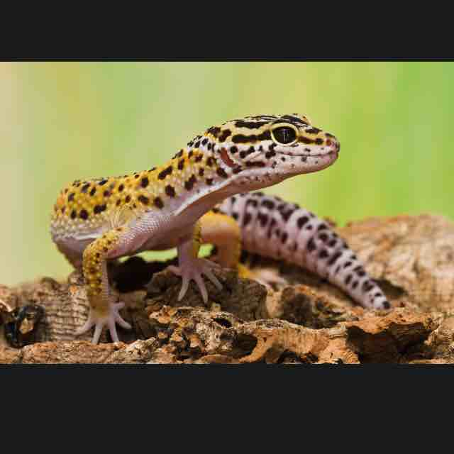 Love Your Leopard Gecko