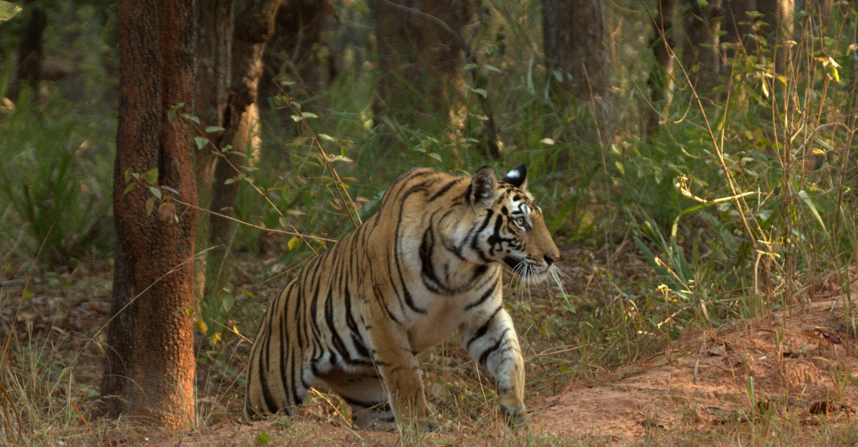 MP Tiger Safari